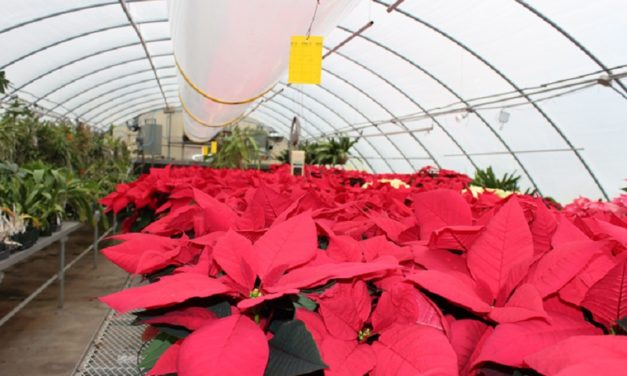 Greenhouse holds Christmas Open House for Poinsettias
