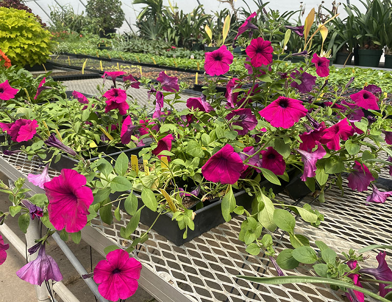 The Greenhouse is now open for this year's blooming season. Petunia purple waves are $1.50 per pot. (Daegiona Wilson, Staff photographer)