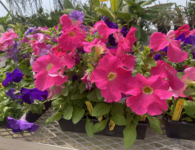 The Greenhouse will be open to the public throughout the summer. Petunia Dreams are 2.95 per pot. (Daegiona Wilson, Staff photographer)